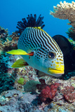 Striped Sweetlips (Diagonal Banded Sweetlips) (Plectorhinchus Lineatus)
