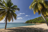 Palm Trees Thrive on the Beautiful Beach of Hawksbill  Antigua  Leeward Islands  West Indies