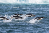 Adelie Penguins (Pygoscelis Adeliae) Porpoising at Sea at Brown Bluff  Antarctica  Southern Ocean