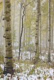 Aspens in the Fall in Fog  Grand Mesa National Forest  Colorado
