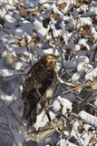 Red-Tailed Hawk (Buteo Jamaicensis) Juvenile in a Snow-Covered Tree