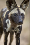 African Wild Dog (African Hunting Dog) (Cape Hunting Dog) (Lycaon Pictus)