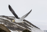 Adult Kelp Gull (Larus Dominicanus) with Stolen Adelie Penguin Egg in its Bill at Brown Bluff