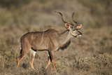 Greater Kudu (Tragelaphus Strepsiceros) Buck  Karoo National Park  South Africa  Africa