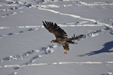 Juvenile Golden Eagle (Aquila Chrysaetos) in Flight over Snow in the Winter