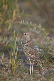 Two-Banded Courser (Double-Banded Courser) (Rhinoptilus Africanus)