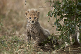 Cheetah (Acinonyx Jubatus) Cub About a Month Old