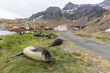 Southern Elephant Seal Pups (Mirounga Leonina) after Weaning in Grytviken Harbor  South Georgia