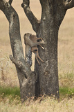 Leopard (Panthera Pardus) Carrying a Days-Old Blue Wildebeest (Brindled Gnu)Calf Up a Tree