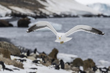 Adult Kelp Gull (Larus Dominicanus) in Flight at Brown Bluff  Antarctic Sound  Antarctica