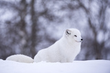 Arctic Fox (Vulpes Lagopus)  Polar Park  Norway  Troms  Norway  Scandinavia