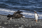 An Adult Brown Skua (Stercorarius Spp)