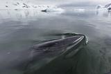 A Curious Antarctic Minke Whale (Balaenoptera Bonaerensis)