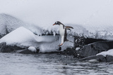 Gentoo Penguin (Pygoscelis Papua) Leaping into the Sea at Booth Island  Antarctica  Polar Regions