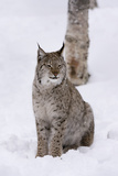 European Lynx (Lynx Lynx)  Polar Park  Norway  Troms  Norway  Scandinavia