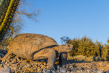 Adult Captive Desert Tortoise (Gopherus Agassizii) at Sunset at the Arizona Sonora Desert Museum
