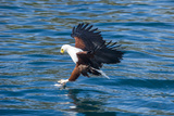 African Fish Eagle (Haliaeetus Vocifer) Hunting Fish  Cape Maclear  Lake Malawi  Malawi  Africa