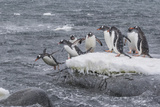 Gentoo Penguins Returning to Sea from Breeding Colony at Port Lockroy  Antarctica