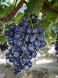 Grapes in San Joaquin Valley  California  United States of America  North America