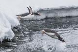 Gentoo Penguins (Pygoscelis Papua) Leaping into the Sea at Booth Island  Antarctica  Polar Regions