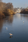 Sea Birds (Gulls) on Ice Covered Frozen Lake with Westminster Backdrop in Winter