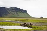 Wild Horses  South Iceland  Iceland  Polar Regions