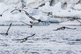 Adult Cape Petrels (Daption Capense) Feeding at Brown Bluff  Antarctica  Polar Regions