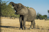 African Bush Elephant (Loxodonta Africana) Eating from a Tree