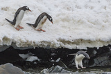 Gentoo Penguins (Pygoscelis Papua) Leaping into the Sea with Adelie Penguin at Booth Island