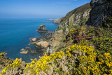 Blooming Gorse over the East Coast of Sark  Channel Islands  United Kingdom