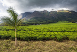 Tea Estate on Mount Mulanje  Malawi  Africa