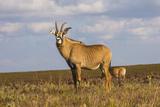 Roan Antelope (Hippotragus Equinus)  Nyika National Park  Malawi  Africa