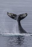 Humpback Whale (Megaptera Novaeangliae) Surface Display  Tail Throw  Useful Island  Antarctica