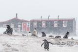 Gentoo Penguin (Pygoscelis Papua) Breeding Colony in Snow Storm at Port Lockroy  Antarctica