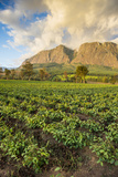 Tea Estate on Mount Mulanje at Sunset  Malawi  Africa