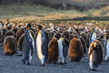 King Penguins (Aptenodytes Patagonicus) in Early Morning Light at Gold Harbor  South Georgia
