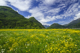 Spring Blooms in Valtellina  Near the Village of Sirta Lombardy  Italy  Europe