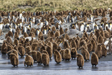 Adult King Penguins and Okum Boy Chicks (Aptenodytes Patagonicus) Heading to Sea in Gold Harbor