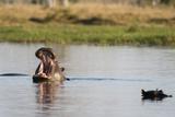 Hippopotamus (Hippopotamus Amphibius)  Khwai Concession  Okavango Delta  Botswana  Africa
