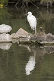 Little Egret (Egretta Garzetta)  Camargue  Provence-Alpes-Cote D'Azur  France  Europe