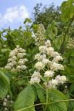 Horse Chestnut (Aesculus Hippocastanum) Flower Candelabras  Wiltshire  England  United Kingdom