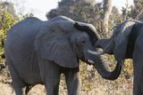 African Elephants (Loxodonta Africana)  Khwai Concession  Okavango Delta  Botswana  Africa