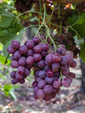 Red Globe Grapes at a Vineyard  San Joaquin Valley  California  Usa