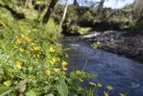 Lesser Celandines (Ranunculus Ficaria) Flowering on a Stream Bank in Woodland