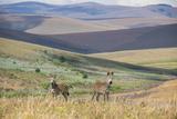 Plains Zebras (Equus Quagga)  Nyika National Park  Malawi  Africa
