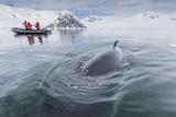 A Curious Antarctic Minke Whale (Balaenoptera Bonaerensis) Approaches the Zodiac in Neko Harbor