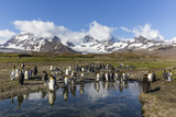 King Penguins (Aptenodytes Patagonicus) in Early Morning Light at St Andrews Bay  South Georgia