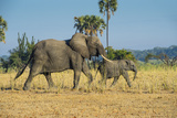 African Bush Elephant (Loxodonta Africana) Mother with Calf  Liwonde National Park  Malawi  Africa