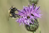 Hoverfly (Volucella Bombylans Var Plumata) Visiting a Greater Knapweed Flower (Centaurea Scabiosa)