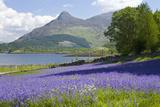 Wild Bluebells (Hyacinthoides Non-Scripta) Beside Loch Leven